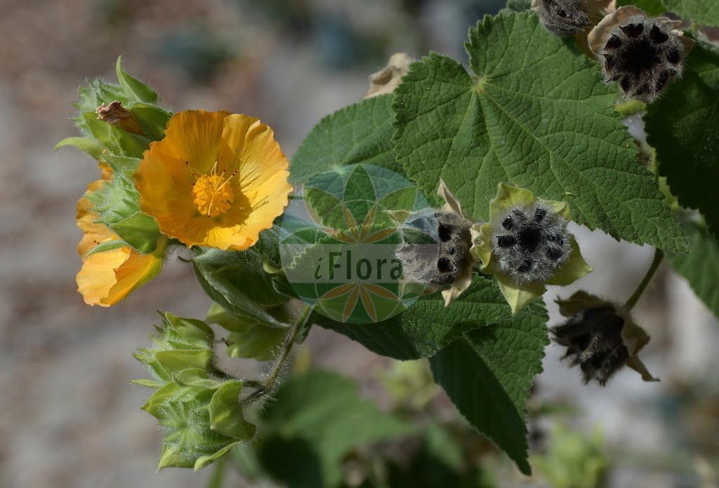 Abelmoschus esculentus | Foto von Abelmoschus esculentus. Das Bild zeigt Bluete. Das Foto wurde in Hanbury, Ventimiglia, Liguria, Italien aufgenommen. ---- Photo of Abelmoschus esculentus.The image is showing flower.The picture was taken in Hanbury, Ventimiglia, Liguria, Italy.