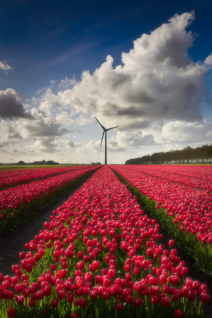 Blühendes Tulpenfeld   Mitte April ist die Zeit reif für einen Besuch bei unseren Nachbarn in Holland. Tulpen blühen in voller Pracht in allen erdenklichen Farben. Rot ist aber immer noch am beliebtesten. Die Landschaft erscheint unwirklich, wenn sich die bunten Teppiche bis zum Horizont erstrecken.