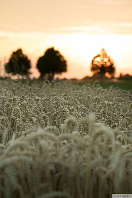Kornfeld mit Sonnenuntergang | Sonnnuntergang über dem Kornfeld in Raderbroich