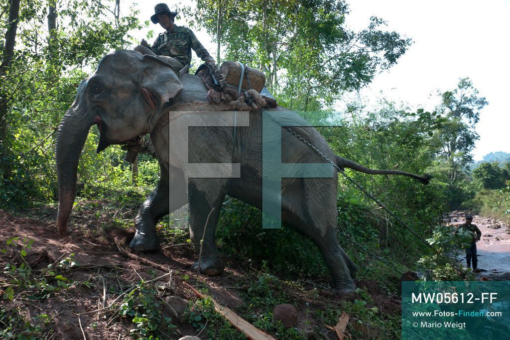 MW05612-FF | Laos | Provinz Sayaboury | Reportage: Arbeitselefanten in Laos | Schwerstarbeit für den Dickhäuter: Bergauf zieht der Arbeitselefant einen Baumstamm aus dem Fluss. Die Kommandos dafür gibt der Mahut (Tierpfleger). Lane Xang -