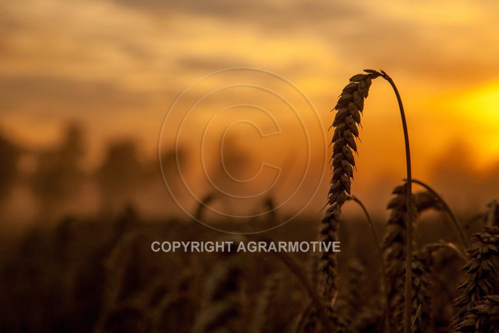 20120817-_MG_8740 | Weizenernte in der Dämmerung