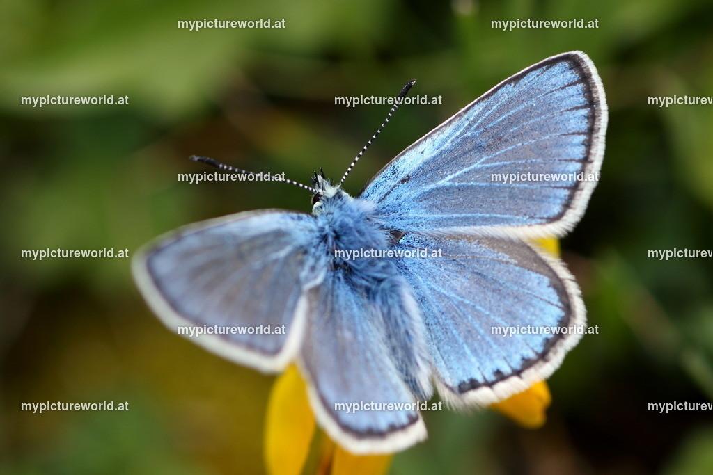 Polyommatus eros-012