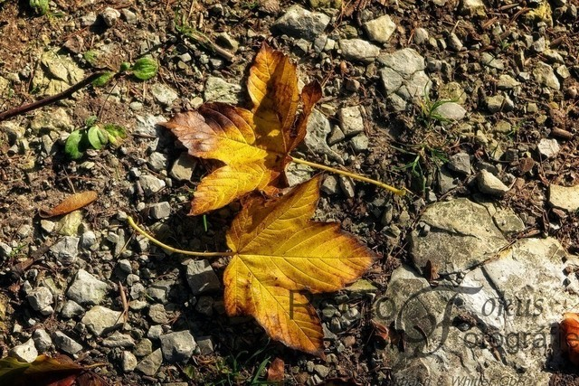 Blätterpaar | Zwei Herbstblätter, die sich auf steinigem Grund gefunden haben