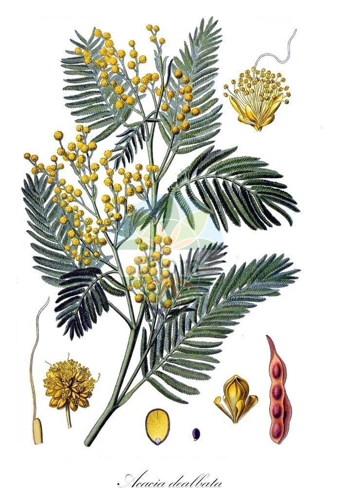 Acacia dealbata | Historische Abbildung von Acacia dealbata. Das Bild zeigt Blatt, Bluete, Frucht und Same. ---- Historical Drawing of Acacia dealbata.The image is showing leaf, flower, fruit and seed.