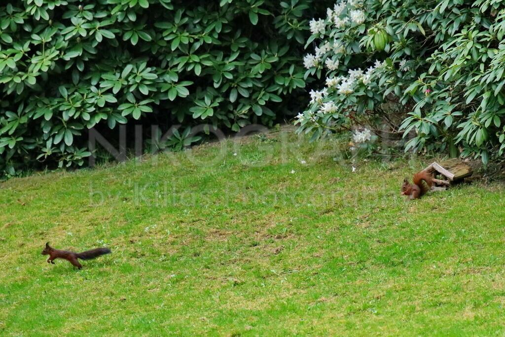 Eichhörnchen  | Zwei Eichhörnchen auf einer Wiese.