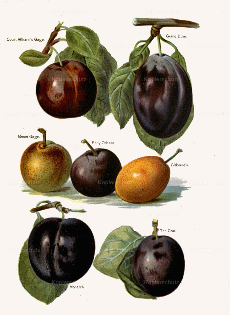 Fruit-Growers-Guide-1890-May-Rivers-Obst-Früchte (39)