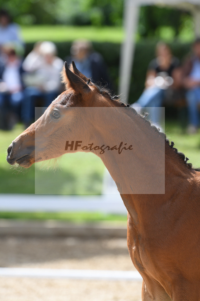 Kat-Nr. 35 HF DSP Va Bene_Siegmond_2621639