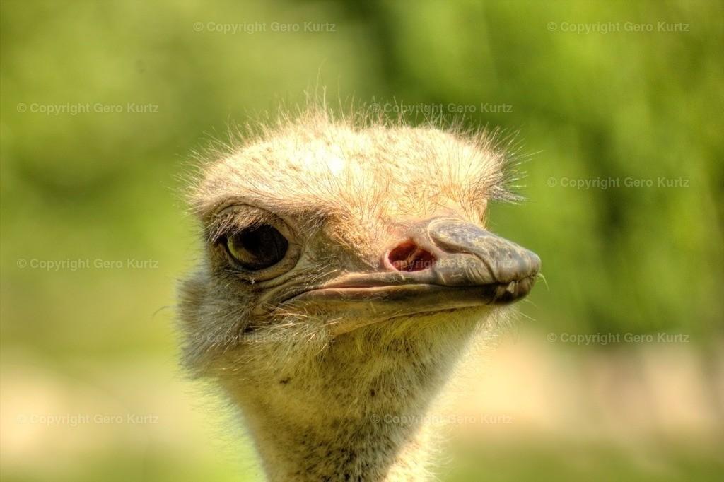 ostrich head  - Kopf vom Strau� | ostrich head  - Kopf vom Strau�