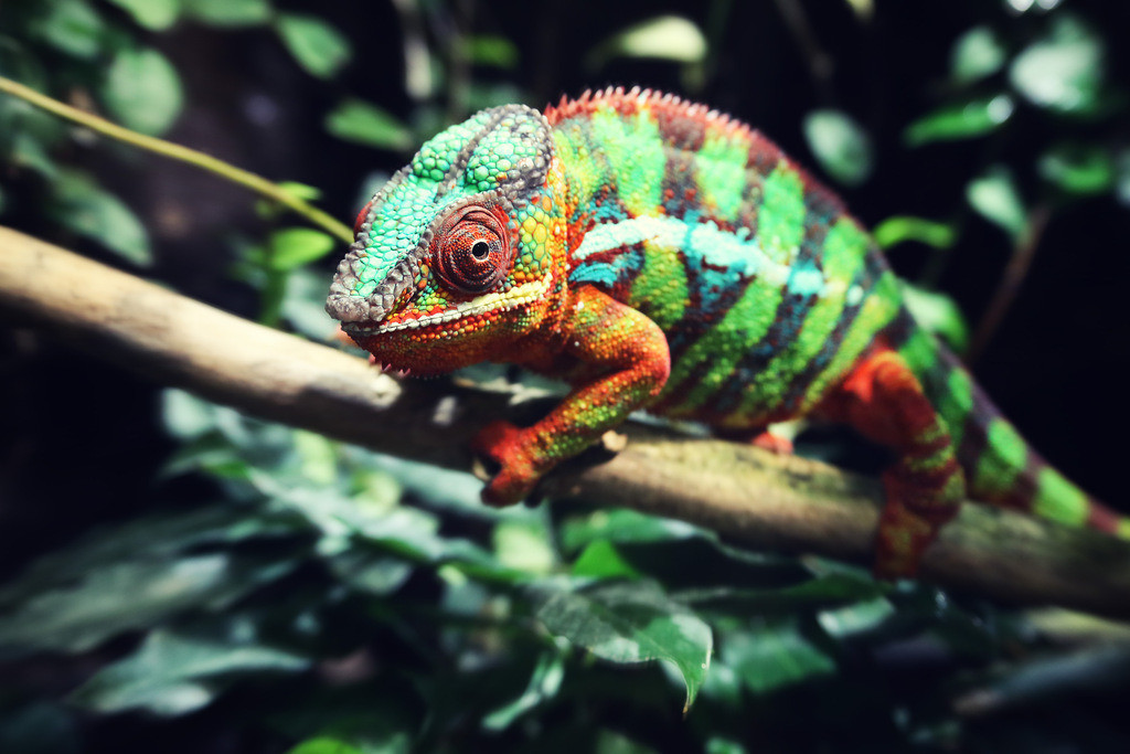 157-Chameleon