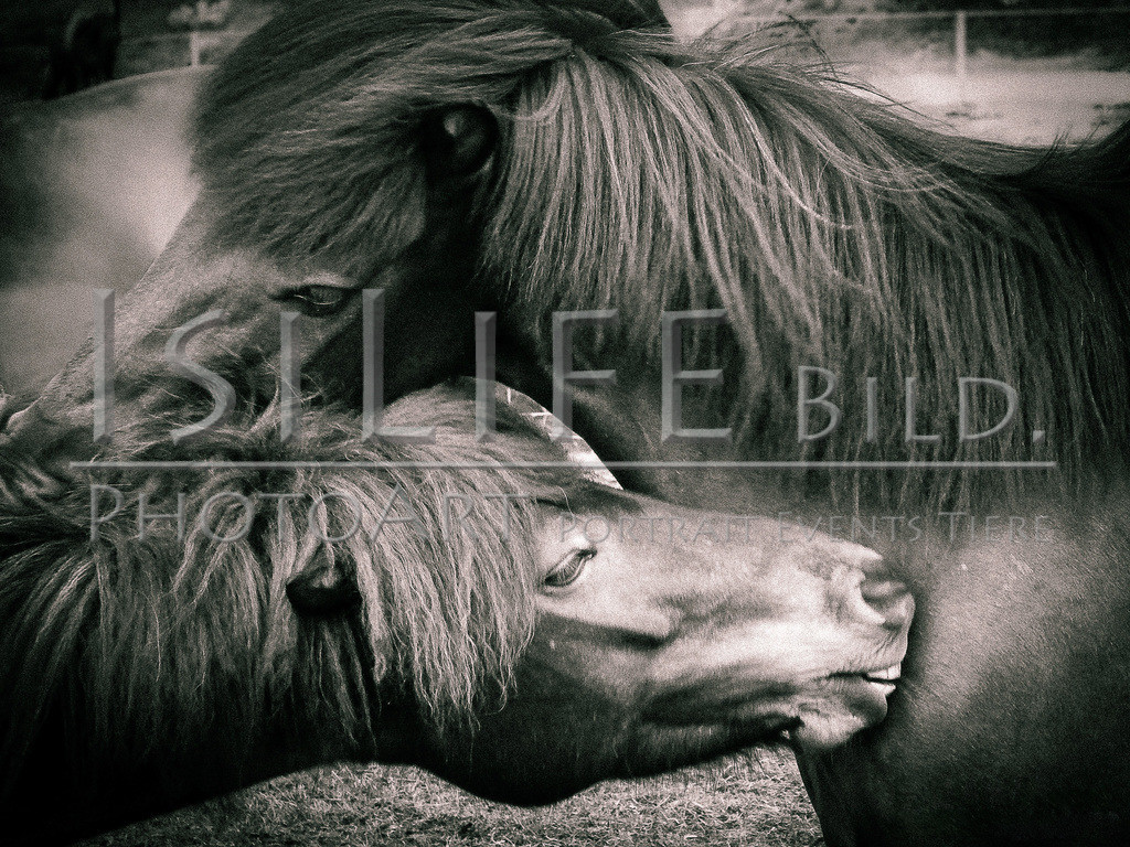 Pferdefreunde | auf Island