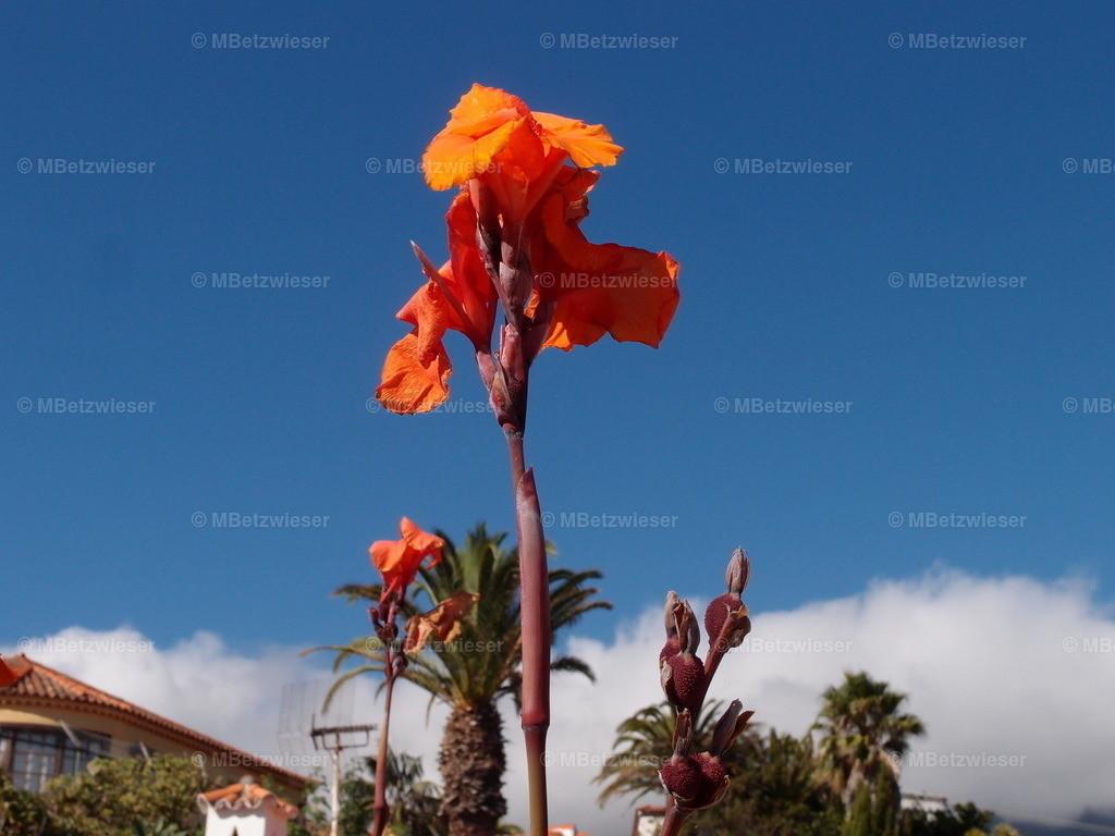 P9216637 | Indisches Blumenrohr (Canna indica)