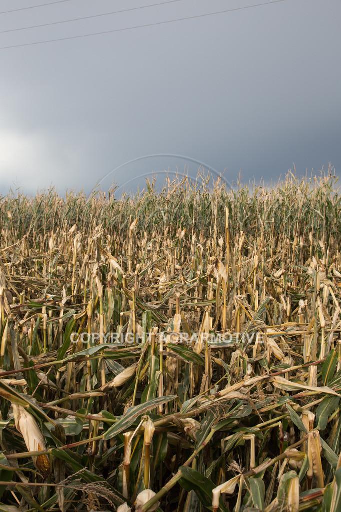 20170917-IMG_1133 | Ernteschaden im Mais durch Herbssturm