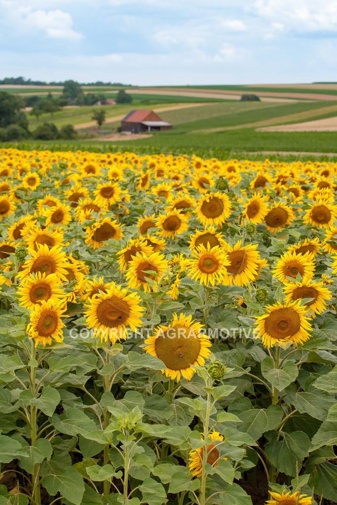 20090711-IMG_3660 | blühende Sonnenblumen im Sommer - AGRARMOTIVE Bilder aus der Landwirtschaft
