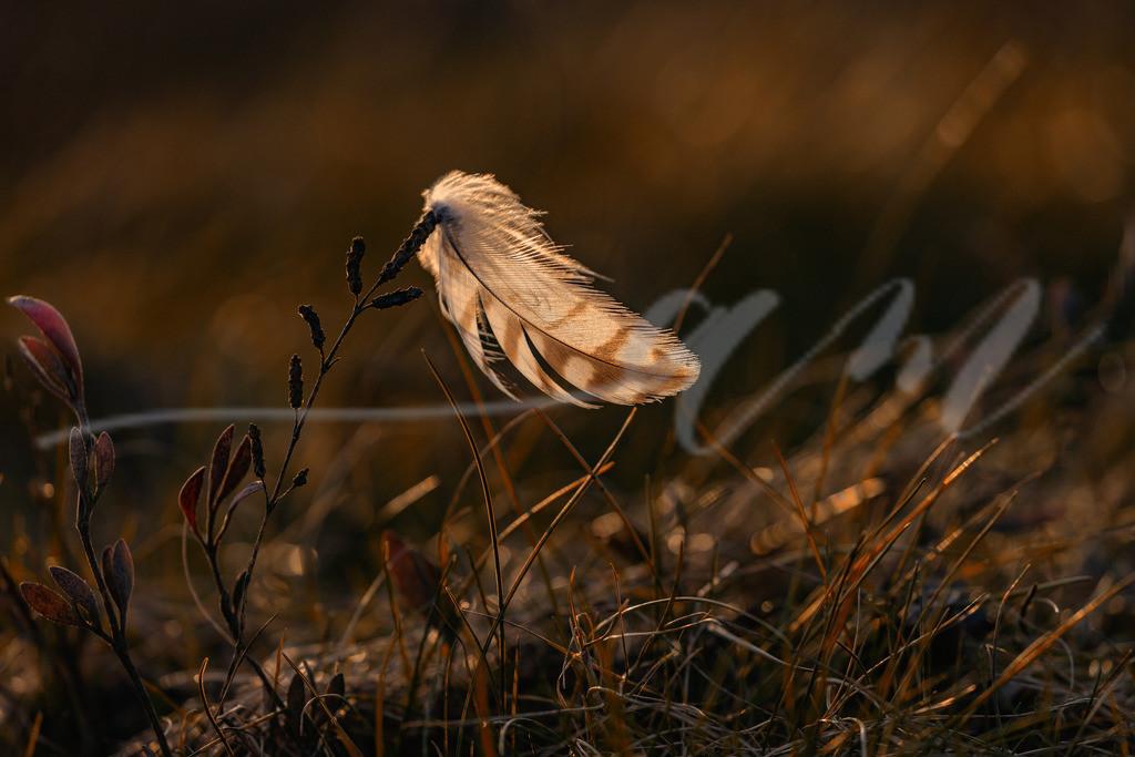 Feder im Abendlicht | Eine Feder hat sich in den Pflanzen der Salzwiese verfangen