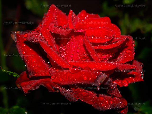 Rose C | OLYMPUS DIGITAL CAMERA