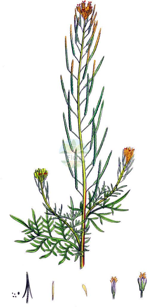 Descurainia sophia (Gewoehnliche Besenrauke - Flixweed)   Historische Abbildung von Descurainia sophia (Gewoehnliche Besenrauke - Flixweed). Das Bild zeigt Blatt, Bluete, Frucht und Same. ---- Historical Drawing of Descurainia sophia (Gewoehnliche Besenrauke - Flixweed).The image is showing leaf, flower, fruit and seed.
