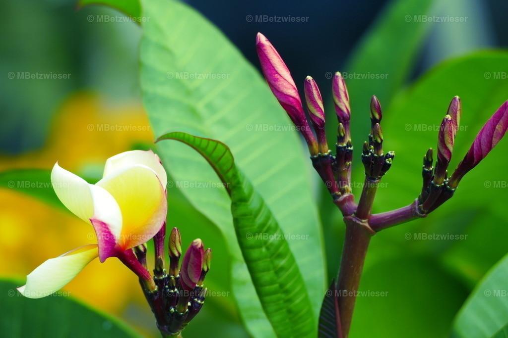 P1000695 | Die noch nicht geöffneten Blüten des Frangipani