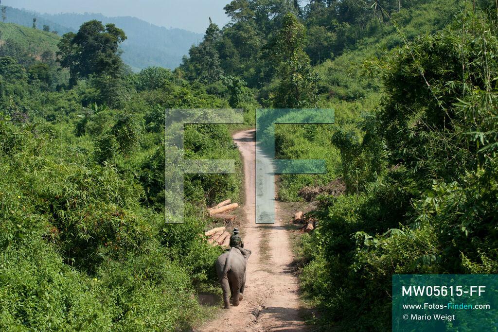 MW05615-FF | Laos | Provinz Sayaboury | Reportage: Arbeitselefanten in Laos | Mahut mit seinem Arbeitselefant im Dschungel.  Lane Xang -