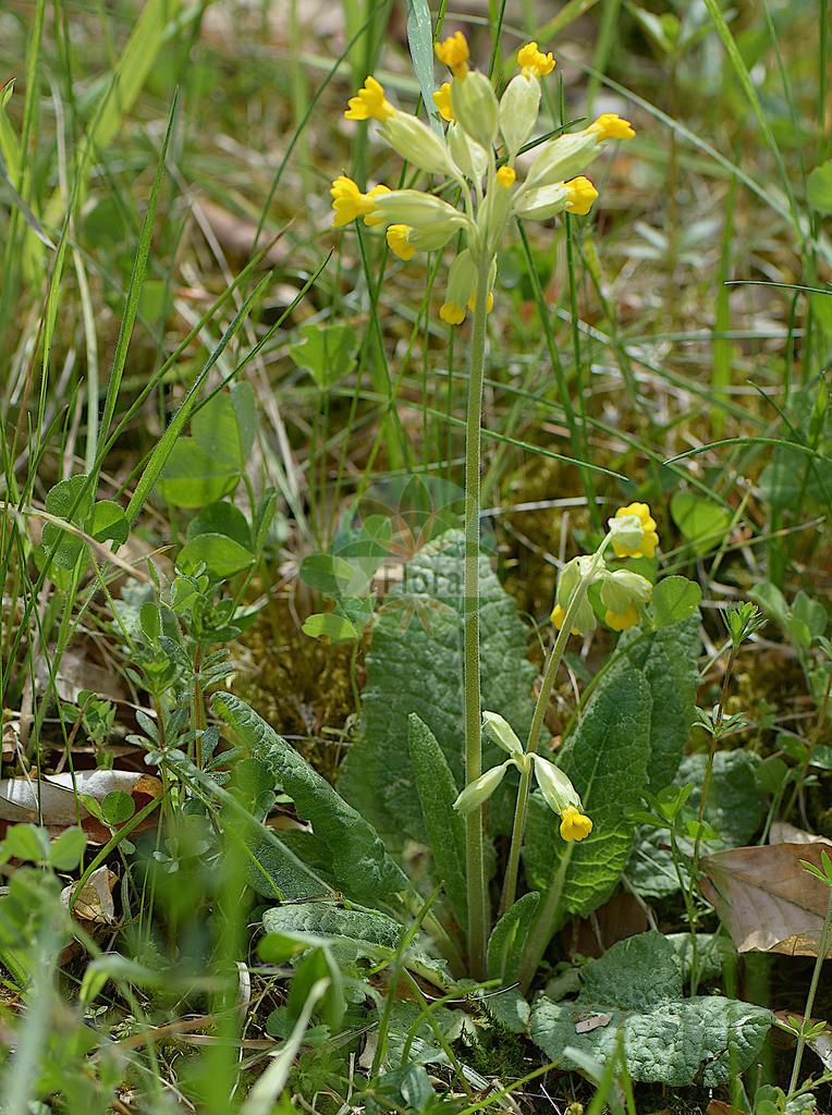 Primula veris (Echte Schluesselblume - Cowslip) | Foto von Primula veris (Echte Schluesselblume - Cowslip). Das Foto wurde in Marburg, Hessen, Deutschland aufgenommen. ---- Photo of Primula veris (Echte Schluesselblume - Cowslip).The picture was taken in Marburg, Hesse, Germany.