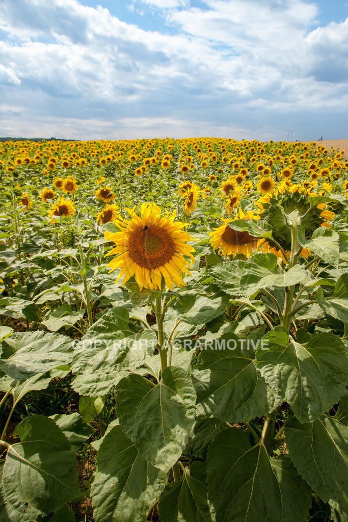 20090711-IMG_3778 | blühende Sonnenblumen im Sommer - AGRARMOTIVE Bilder aus der Landwirtschaft