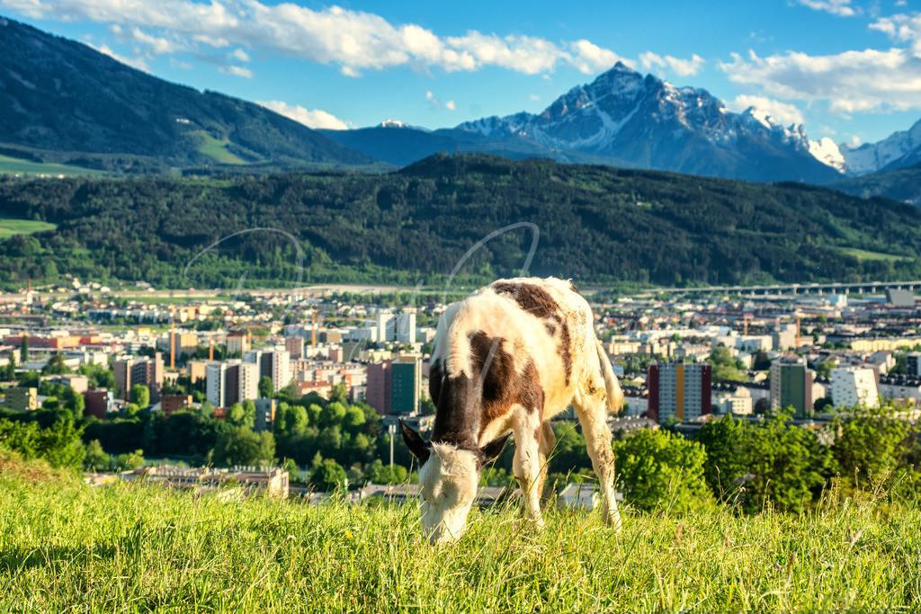 Arzl   Kalb in Arzl mit Blick auf Innsbruck