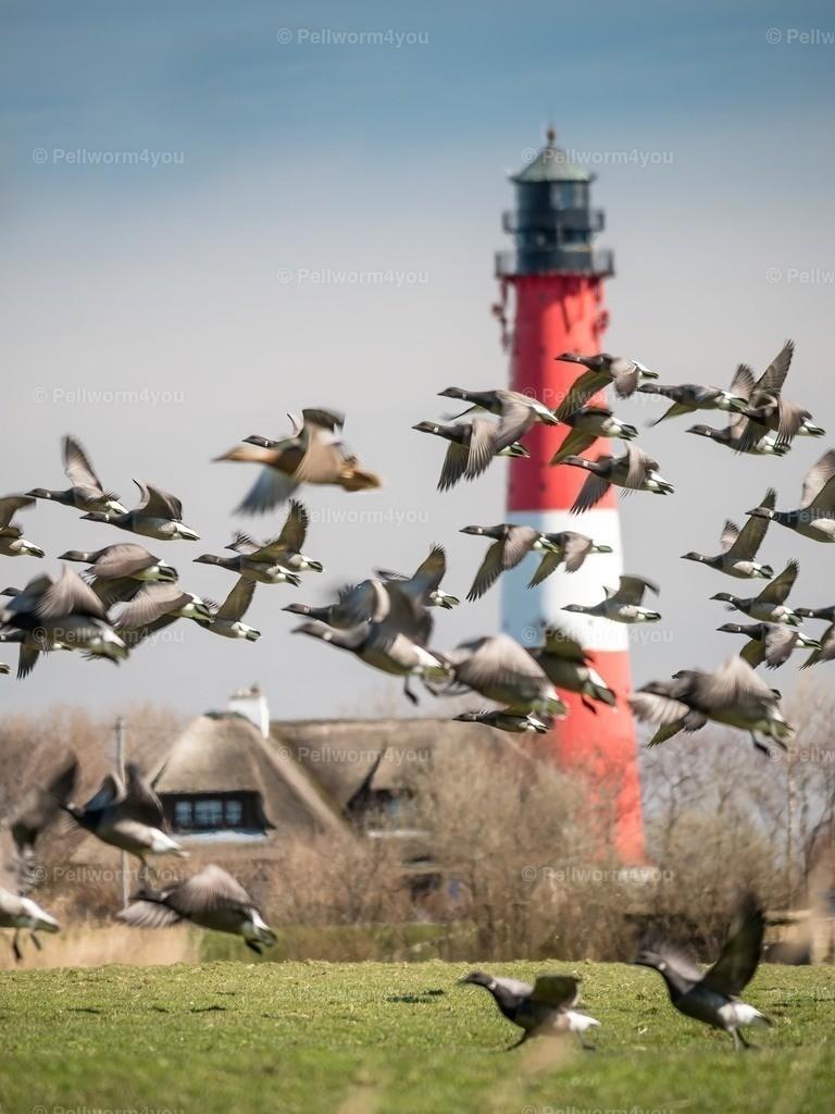 Gans viel los am Pellwormer Leuchtturm