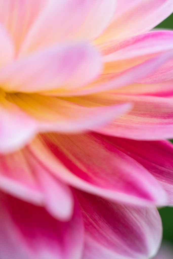 d_2020_06_0306 | Dahlia x hortensis, Seerosen-Dahlie