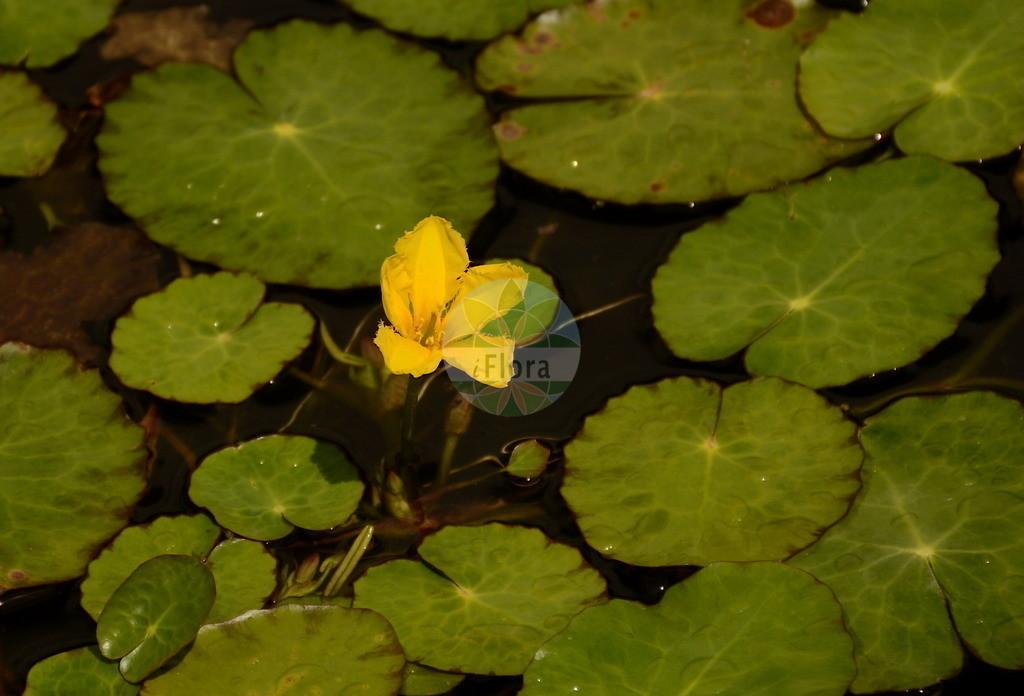 Nymphoides peltata (Europaeische Seekanne - Fringed Water-lily) | Foto von Nymphoides peltata (Europaeische Seekanne - Fringed Water-lily). Das Bild zeigt Blatt und Bluete. Das Foto wurde in Jardin des Plantes, Paris, Frankreich aufgenommen. ---- Photo of Nymphoides peltata (Europaeische Seekanne - Fringed Water-lily).The image is showing leaf and flower.The picture was taken in Jardin des Plantes, Paris, France.